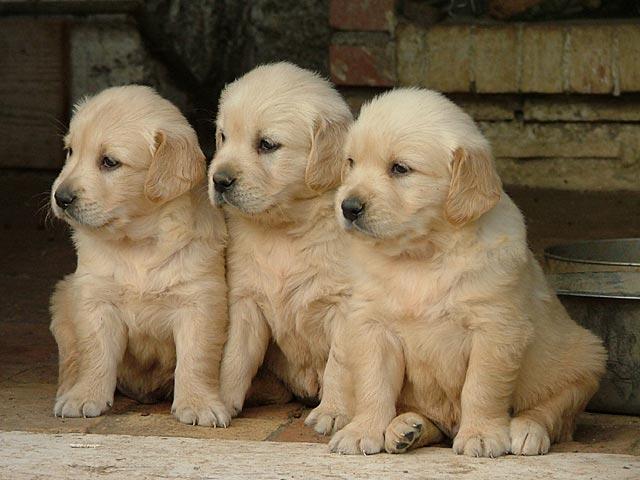 Cuccioli Golden Retriever Roma Blog News